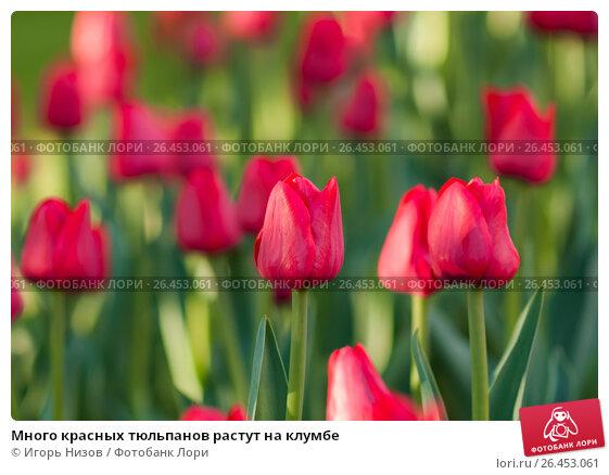 Купить «Много красных тюльпанов растут на клумбе», эксклюзивное фото № 26453061, снято 22 мая 2017 г. (c) Игорь Низов / Фотобанк Лори