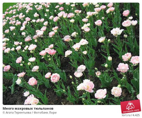 Много махровых тюльпанов, фото № 4425, снято 21 мая 2006 г. (c) Агата Терентьева / Фотобанк Лори