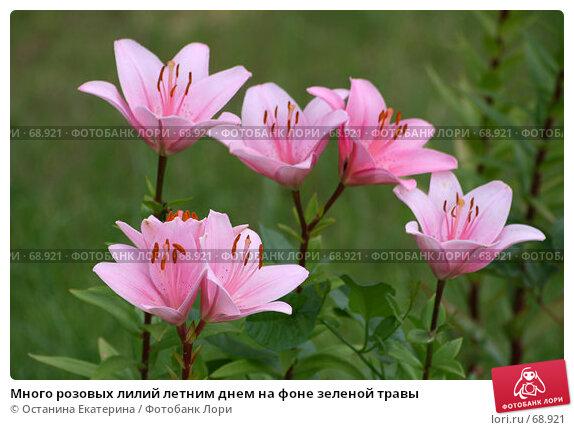 Много розовых лилий летним днем на фоне зеленой травы, фото № 68921, снято 24 июля 2007 г. (c) Останина Екатерина / Фотобанк Лори