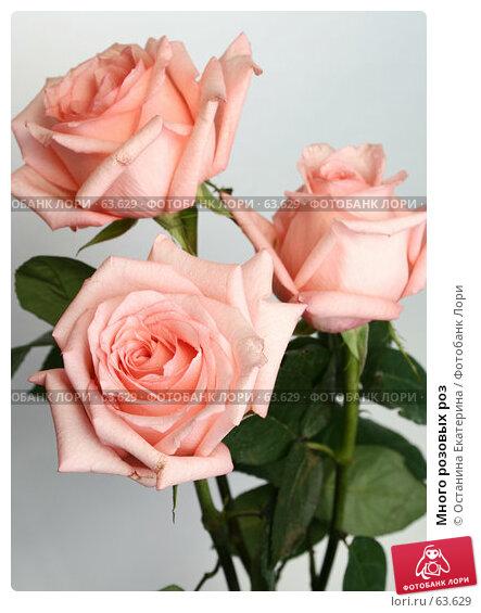 Много розовых роз, фото № 63629, снято 13 июля 2007 г. (c) Останина Екатерина / Фотобанк Лори