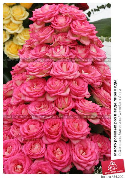 Много розовых роз в виде пирамиды, фото № 54209, снято 19 февраля 2007 г. (c) Останина Екатерина / Фотобанк Лори