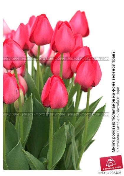 Много розовых тюльпанов на фоне зеленой травы, фото № 208805, снято 14 февраля 2008 г. (c) Останина Екатерина / Фотобанк Лори