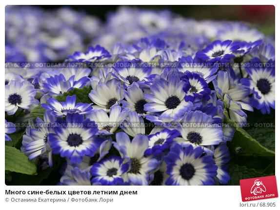 Купить «Много сине-белых цветов летним днем», фото № 68905, снято 19 февраля 2007 г. (c) Останина Екатерина / Фотобанк Лори