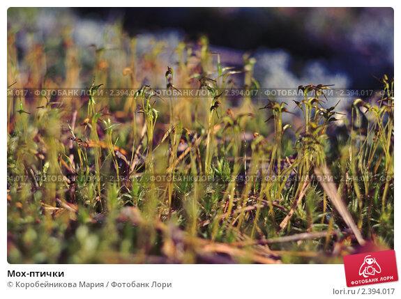 Мох-птички. Стоковое фото, фотограф Коробейникова Мария / Фотобанк Лори
