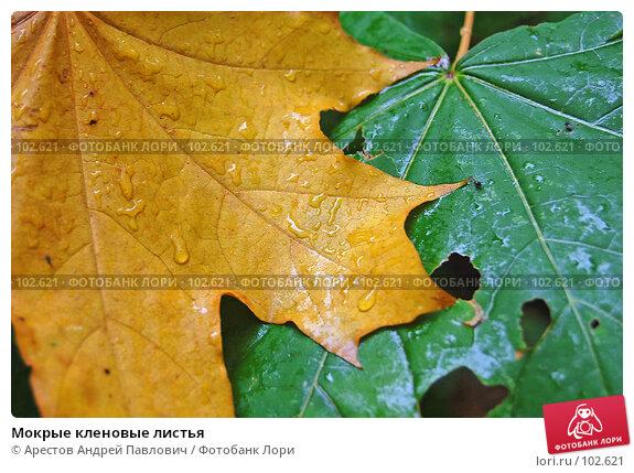 Мокрые кленовые листья, фото № 102621, снято 23 мая 2017 г. (c) Арестов Андрей Павлович / Фотобанк Лори