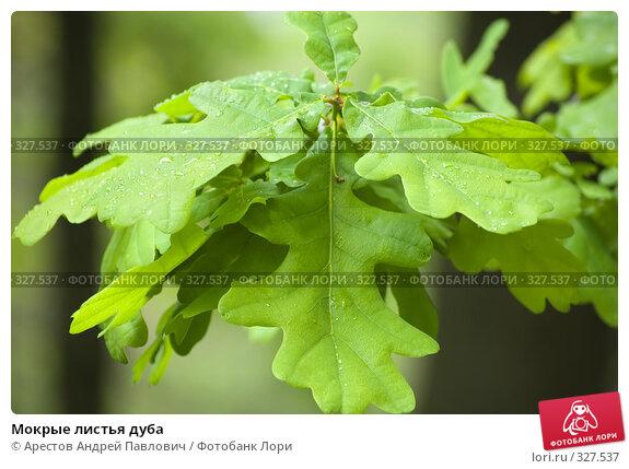 Мокрые листья дуба, фото № 327537, снято 1 мая 2008 г. (c) Арестов Андрей Павлович / Фотобанк Лори