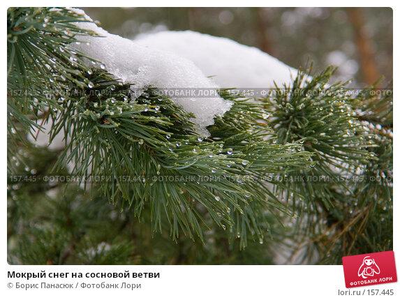 Мокрый снег на сосновой ветви, фото № 157445, снято 13 декабря 2007 г. (c) Борис Панасюк / Фотобанк Лори