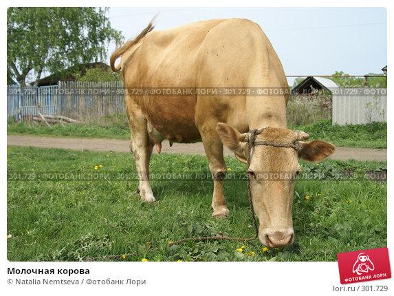Молочная корова, эксклюзивное фото № 301729, снято 10 мая 2008 г. (c) Natalia Nemtseva / Фотобанк Лори