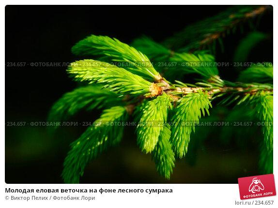 Молодая еловая веточка на фоне лесного сумрака, фото № 234657, снято 20 мая 2007 г. (c) Виктор Пелих / Фотобанк Лори