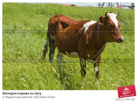 Молодая корова на лугу, фото № 310733, снято 4 июня 2008 г. (c) Федор Королевский / Фотобанк Лори