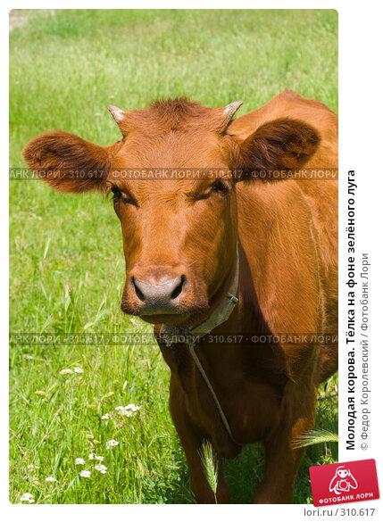 Молодая корова. Тёлка на фоне зелёного луга, фото № 310617, снято 4 июня 2008 г. (c) Федор Королевский / Фотобанк Лори