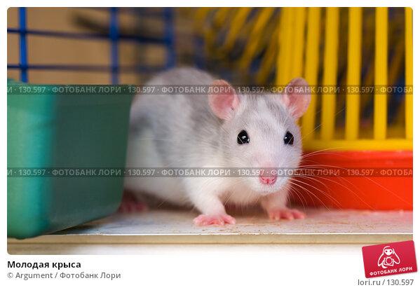 Купить «Молодая крыса», фото № 130597, снято 5 мая 2007 г. (c) Argument / Фотобанк Лори