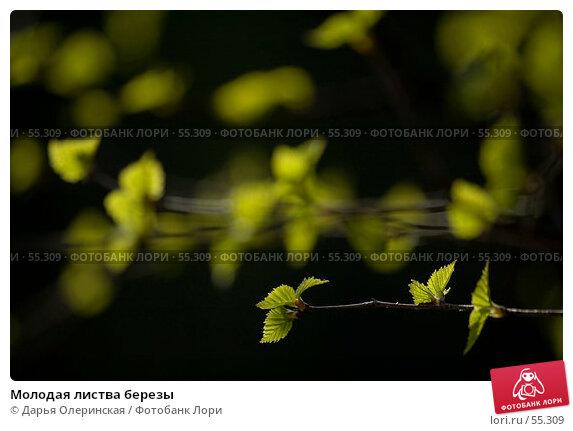 Молодая листва березы, фото № 55309, снято 8 мая 2006 г. (c) Дарья Олеринская / Фотобанк Лори