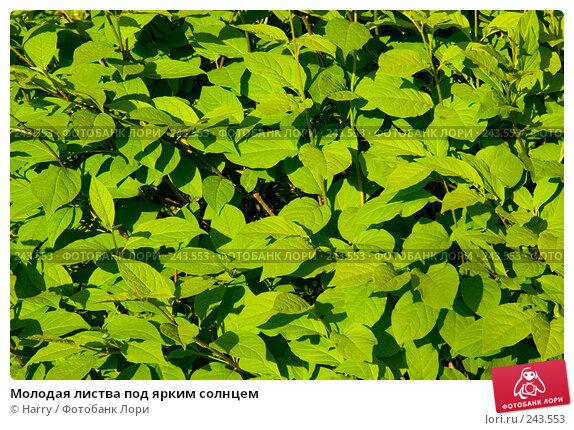 Купить «Молодая листва под ярким солнцем», фото № 243553, снято 2 июня 2007 г. (c) Harry / Фотобанк Лори