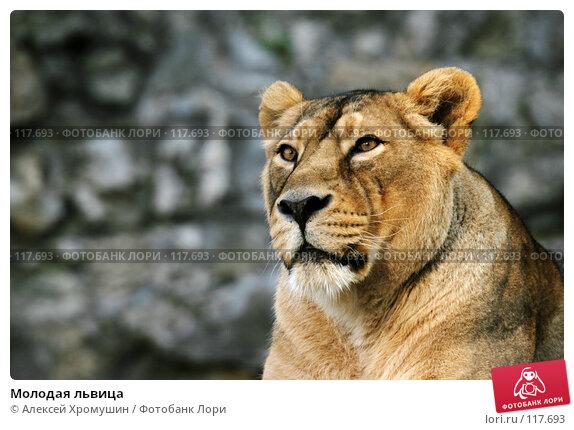 Купить «Молодая львица», фото № 117693, снято 28 сентября 2006 г. (c) Алексей Хромушин / Фотобанк Лори