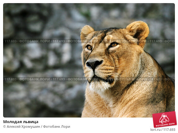 Молодая львица, фото № 117693, снято 28 сентября 2006 г. (c) Алексей Хромушин / Фотобанк Лори