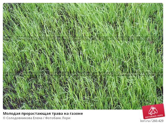 Молодая прорастающая трава на газоне, фото № 260429, снято 12 сентября 2007 г. (c) Солодовникова Елена / Фотобанк Лори