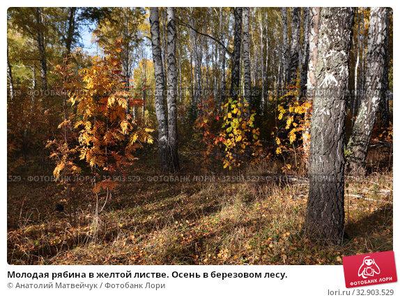 Молодая рябина в желтой листве. Осень в березовом лесу. Стоковое фото, фотограф Анатолий Матвейчук / Фотобанк Лори