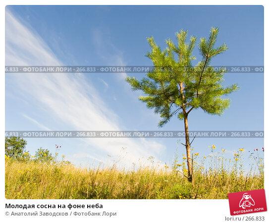 Молодая сосна на фоне неба, фото № 266833, снято 3 августа 2006 г. (c) Анатолий Заводсков / Фотобанк Лори