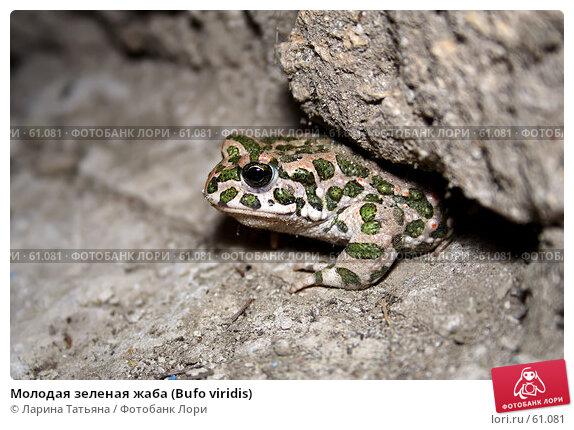 Молодая зеленая жаба (Bufo viridis), фото № 61081, снято 2 июля 2007 г. (c) Ларина Татьяна / Фотобанк Лори