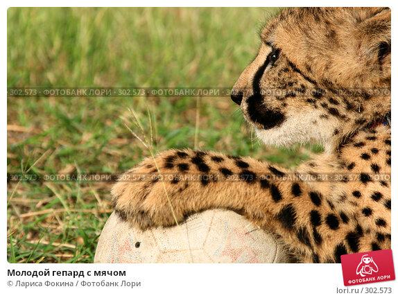 Молодой гепард с мячом, фото № 302573, снято 15 мая 2008 г. (c) Лариса Фокина / Фотобанк Лори