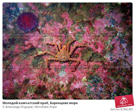 Купить «Молодой камчатский краб, Баренцево море», фото № 6392397, снято 21 июля 2014 г. (c) Александр Огурцов / Фотобанк Лори
