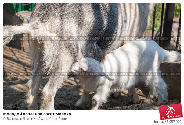 Коза сосет молоко у себя