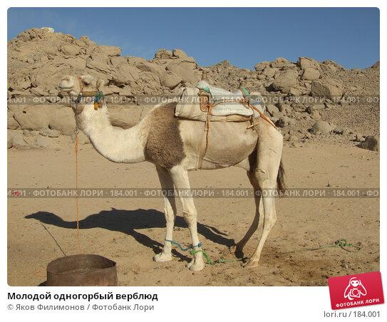 Молодой одногорбый верблюд, фото № 184001, снято 13 января 2008 г. (c) Яков Филимонов / Фотобанк Лори
