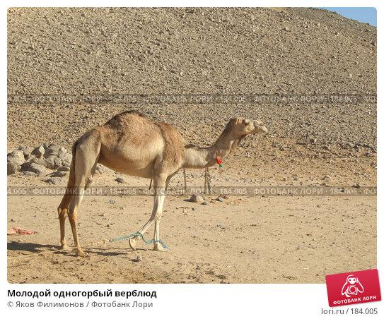 Молодой одногорбый верблюд, фото № 184005, снято 13 января 2008 г. (c) Яков Филимонов / Фотобанк Лори