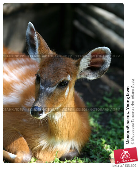 Молодой олень. Young fawn, фото № 133609, снято 23 октября 2007 г. (c) Морозова Татьяна / Фотобанк Лори
