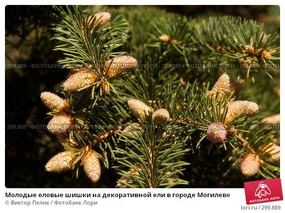 Молодые еловые шишки на декоративной ели в городе Могилеве, фото № 299889, снято 14 мая 2008 г. (c) Виктор Пелих / Фотобанк Лори