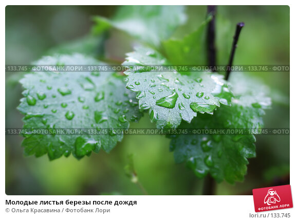 Купить «Молодые листья березы после дождя», фото № 133745, снято 8 июля 2006 г. (c) Ольга Красавина / Фотобанк Лори