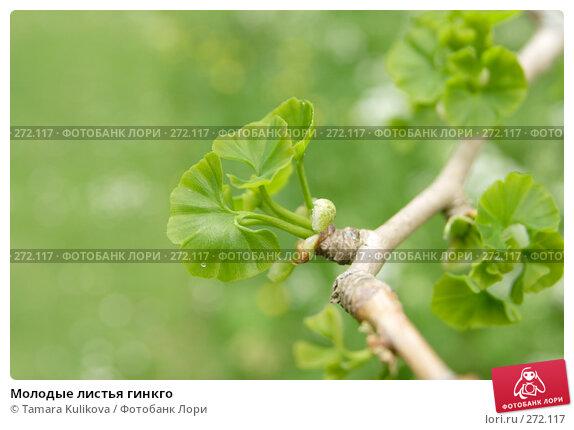 Купить «Молодые листья гинкго», фото № 272117, снято 4 мая 2008 г. (c) Tamara Kulikova / Фотобанк Лори