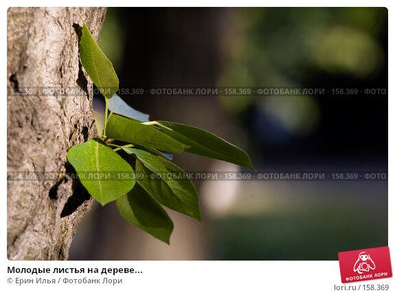 Молодые листья на дереве..., фото № 158369, снято 20 мая 2007 г. (c) Ерин Илья / Фотобанк Лори