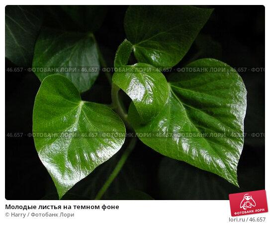 Молодые листья на темном фоне, фото № 46657, снято 30 апреля 2004 г. (c) Harry / Фотобанк Лори