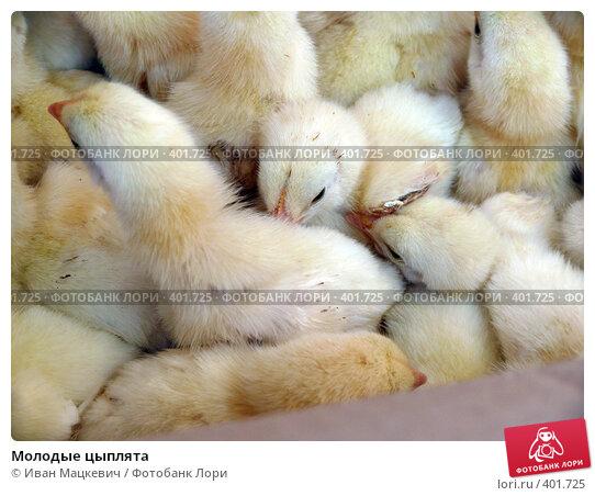 Купить «Молодые цыплята», фото № 401725, снято 5 июня 2008 г. (c) Иван Мацкевич / Фотобанк Лори