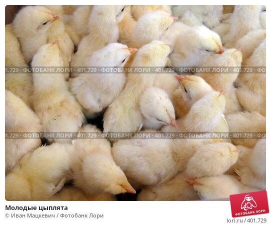 Купить «Молодые цыплята», фото № 401729, снято 5 июня 2008 г. (c) Иван Мацкевич / Фотобанк Лори