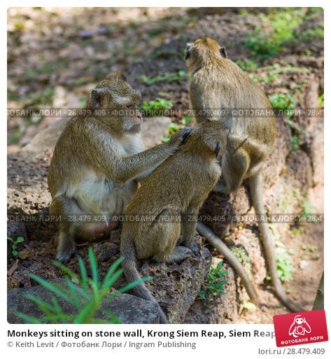 Купить «Monkeys sitting on stone wall, Krong Siem Reap, Siem Reap, Cambodia», фото № 28479409, снято 20 ноября 2019 г. (c) Ingram Publishing / Фотобанк Лори