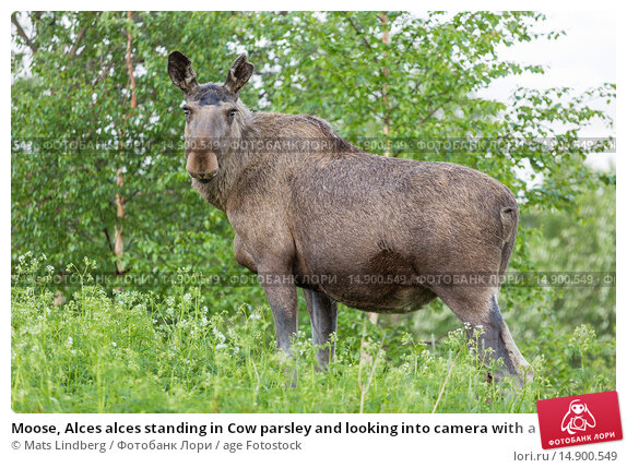 Купить «Moose, Alces alces standing in Cow parsley and looking into camera with a birch in background, Kvikkjokk, Sweden, Swedish lapland.», фото № 14900549, снято 20 июня 2018 г. (c) age Fotostock / Фотобанк Лори