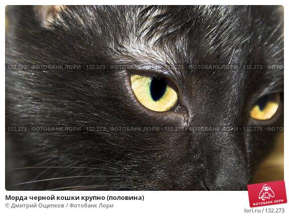 Морда черной кошки крупно (половина), фото № 132273, снято 17 декабря 2006 г. (c) Дмитрий Ощепков / Фотобанк Лори