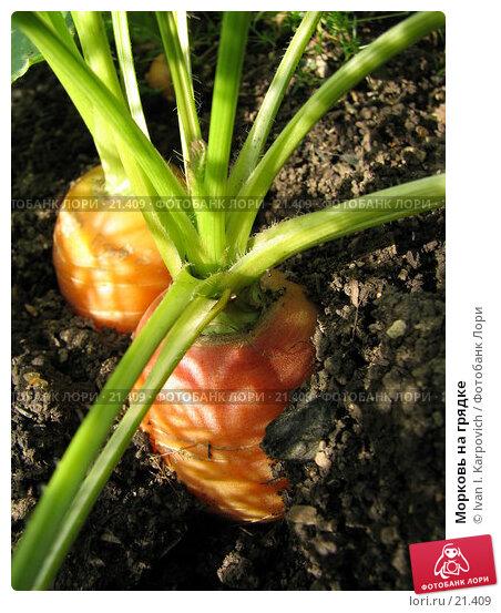 Морковь на грядке, фото № 21409, снято 17 сентября 2005 г. (c) Ivan I. Karpovich / Фотобанк Лори