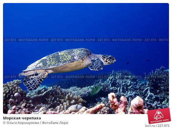 Морская черепаха, фото № 227973, снято 9 октября 2007 г. (c) Ольга Хорошунова / Фотобанк Лори