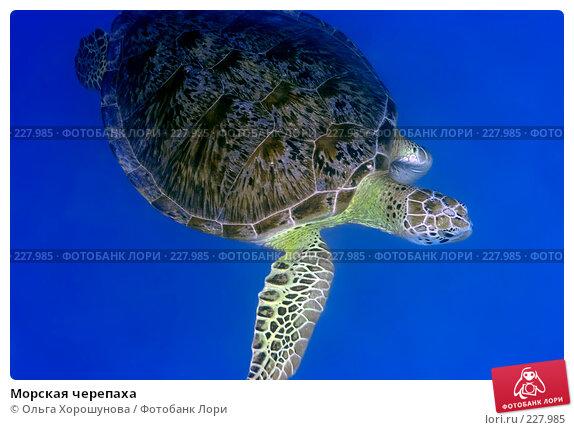 Морская черепаха, фото № 227985, снято 4 октября 2007 г. (c) Ольга Хорошунова / Фотобанк Лори
