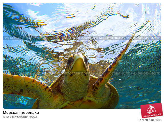 Морская черепаха, фото № 309645, снято 24 марта 2017 г. (c) Михаил / Фотобанк Лори