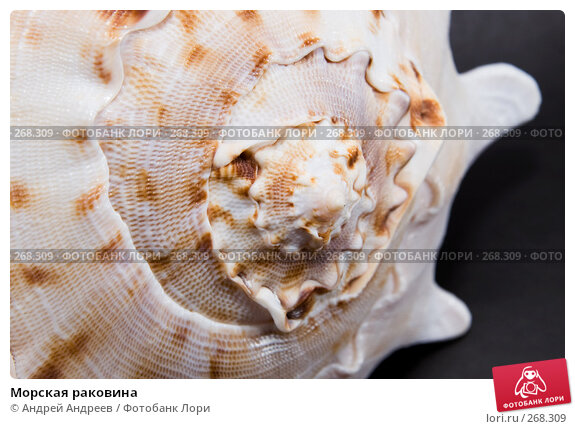 Купить «Морская раковина», фото № 268309, снято 22 апреля 2008 г. (c) Андрей Андреев / Фотобанк Лори