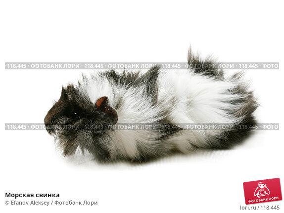 Купить «Морская свинка», фото № 118445, снято 1 февраля 2007 г. (c) Efanov Aleksey / Фотобанк Лори