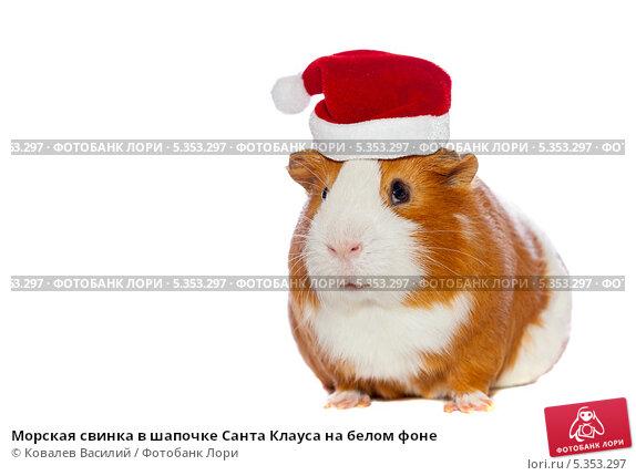 Купить «Морская свинка в шапочке Санта Клауса на белом фоне», фото № 5353297, снято 16 июля 2019 г. (c) Ковалев Василий / Фотобанк Лори