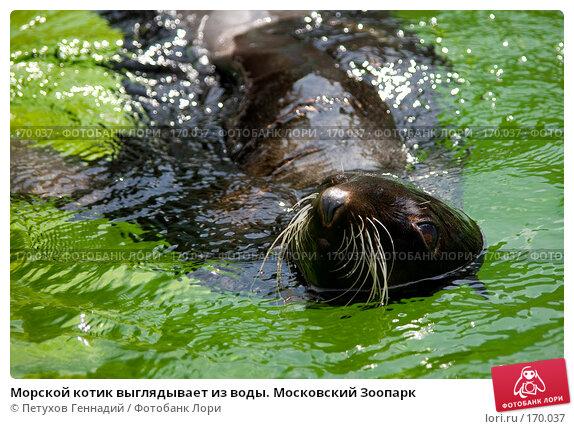 Купить «Морской котик выглядывает из воды. Московский Зоопарк», фото № 170037, снято 24 июня 2007 г. (c) Петухов Геннадий / Фотобанк Лори