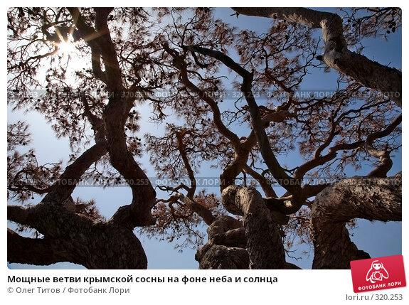 Купить «Мощные ветви крымской сосны на фоне неба и солнца», фото № 320253, снято 21 мая 2008 г. (c) Олег Титов / Фотобанк Лори