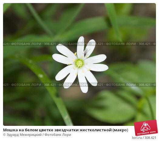 Купить «Мошка на белом цветке звездчатки жестколистной (макро)», фото № 308421, снято 12 мая 2008 г. (c) Эдуард Межерицкий / Фотобанк Лори
